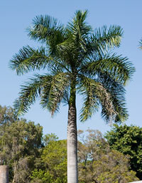 Royal-palm-tree1